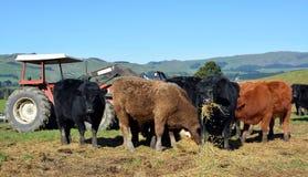 Kalveren die Luzerne-Hooi op het Landbouwbedrijf van Nieuw Zeeland eten Stock Foto
