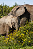 kalvkoelefant Fotografering för Bildbyråer