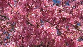 Kam gerade in Blüte Mitte März stock footage
