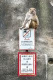 Rhesus Macaque sitting on a `No Feeding` sign, Kam Shan Country Park, Hong Kong. KAM SHAN COUNTRY PARK, HONG KONG - Kam Shan Country Park, also known as Monkey royalty free stock images