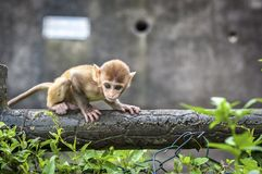 Baby Rhesus Macaque at Kam Shan Country Park, Kowloon, Hong Kong Stock Photo