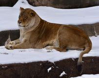 Kamali Laying in de Sneeuw royalty-vrije stock foto's