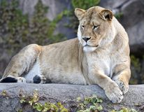 Kamali, Queen of the Zoo. This is a Fall picture of Kamali a four year old lioness in her habitat at the Lincoln Park Zoo located in Chicago, Illinois in Cook Royalty Free Stock Images