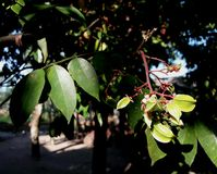Kamaranga setting on bough. And flowers on summer season royalty free stock image