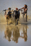 A Kambala bullock race in progress stock images