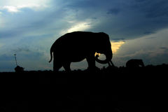 Kambas för elefantsiluetväg Fotografering för Bildbyråer