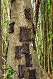 Kambira Det stora gamla trädet som innehåller flera, behandla som ett barn gravar Tana Tor Royaltyfri Foto