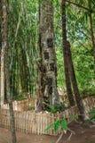 Kambira Det stora gamla trädet som innehåller flera, behandla som ett barn gravar Tana Toraja Fotografering för Bildbyråer
