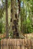 Kambira Det stora gamla trädet som innehåller flera, behandla som ett barn gravar Tana Toraja Arkivfoton