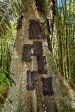 Kambira Det stora gamla trädet som innehåller flera, behandla som ett barn gravar Tana Toraja Arkivfoto