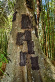 Kambira. Large old tree containing several baby graves. Tana Toraja Stock Photo