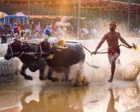 Kambla kulturella sportar av Mangalore, precis för senset royaltyfri foto