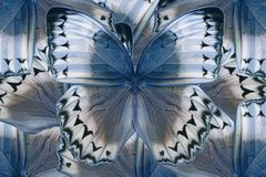Kambodżański Junglequeen motyl (Stichophthalma howqua) Zdjęcie Stock