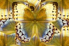 Kambodżański Junglequeen motyl (Stichophthalma howqua) Fotografia Royalty Free