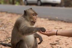 Kambodjansk flicka som matar en apa jordnötter Fotografering för Bildbyråer