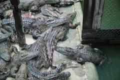 Kambodjansk krokodillantgård Arkivfoto