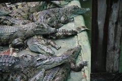 Kambodjansk krokodillantgård Arkivbild