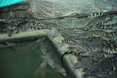 Kambodjansk krokodillantgård Royaltyfri Foto