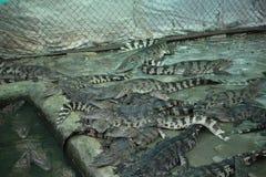 Kambodjansk krokodillantgård Fotografering för Bildbyråer