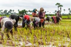 Kambodschanische Landwirte arbeiten Reis zusammen, pflanzend stockfotos
