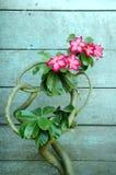 Kambodschanische rote Blumen (Plumeria rubra) Stockbild