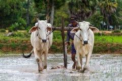 Kambodschanischer Landwirt, der einen Pflug verwendet Stockfotografie