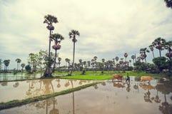 Kambodschanisches Kind mit den Kühen, die ein Reisfeld kreuzen stockfotografie