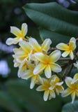 Kamboja-Blume lizenzfreie stockbilder