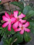Kamboja-Blumen Lizenzfreie Stockfotografie