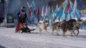 Kamchatka Żartuje rywalizaci sania psa rasy Dyulin Beringia zbiory