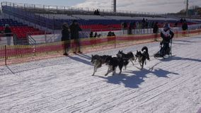 Kamchatka Żartuje rywalizaci sania psa rasy Dyulin Beringia zbiory wideo