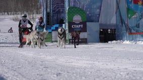 Kamchatka Żartuje rywalizacji sania psa rasy Dyulin Beringiya zdjęcie wideo