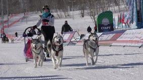 Kamchatka Żartuje rywalizacji sania psa rasy Dyulin Beringiya zbiory wideo