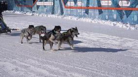 Kamchatka Żartuje rywalizacji sania Psi Ścigać się Dyulin Beringia zbiory