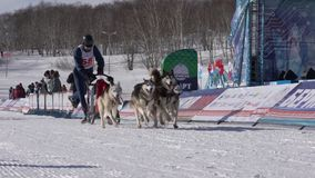 Kamchatka Żartuje rywalizacji sania Psi Ścigać się Dyulin Beringia zdjęcie wideo