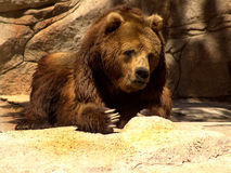 Kamchatka bear. With large claws Royalty Free Stock Photography