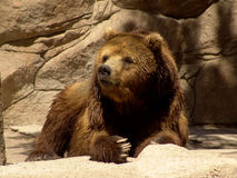 Kamchatka bear. With large claws Royalty Free Stock Photos