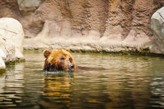 Kamchatka bear Stock Image