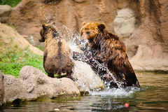Kamchatka bear Stock Photo