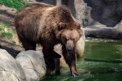 Kamchatka bear in water. stock photography