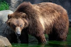 Kamchatka bear in water. royalty free stock photos