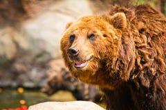 Kamchatka björn Royaltyfri Bild