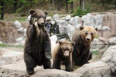 Kamchatka björn Arkivfoto