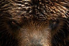 Kamchatka-Braunbär Ursus arctos beringianus lizenzfreie stockbilder
