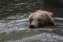 Kamchatka Brown Bear Royalty Free Stock Photos