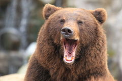 Kamchatka brown bear. The detail of Kamchatka brown bear royalty free stock images
