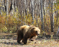 Kamchatka brown bear on a chain in the forest Royalty Free Stock Photos