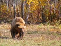 Kamchatka brown bear on a chain in the forest Stock Photos