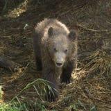 Kamchatka Brown Bear Stock Images