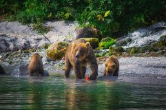 Kamchatka brown bear female and bear cubs catch fish on the Kuril lake. Kamchatka Peninsula, Russia. Kamchatka brown bear female and bear cubs catch fish on the royalty free stock photos